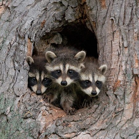 A raccoon family at Little Winnie Resort