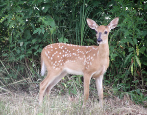 A whitetail fawn at Little Winnie Resort